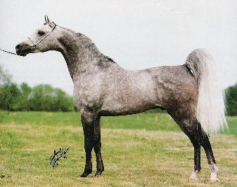 From Arabian Horse World, November, 1991